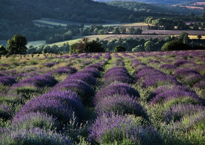 1103 Lavender fields, Provence, France