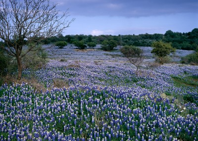 1155 Field of bluebonnets and oak trees, Texas Hill Country