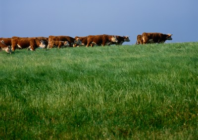 1207 Hereford cattle on range, LBJ Ranch, Stonewall, Texas