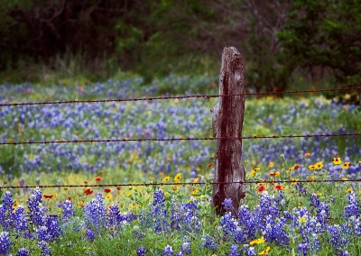 1364 Bluebonnets, wildflowers and fence, Texas Hill Country