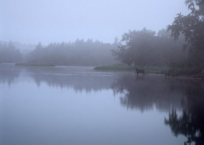1389 Moose, fog, Haskell Deadwater, Katahdin Woods & Watrers National Monument, Maine