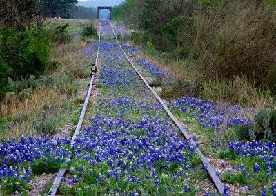 1423 Cat on railroad tracks, bluebonnets, Texas Hill Country