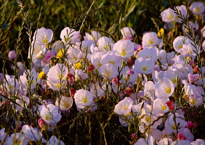 1429 Pink Evening Primrose in morning light, Trinity wetlands