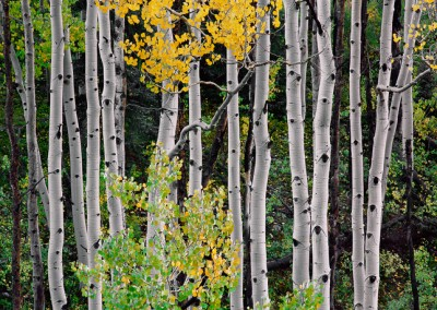1465 Aspens, San Juan National Forest, Colorado