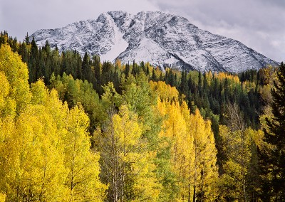 1467 Aspens, snow, San Juan National Forest, Colorado
