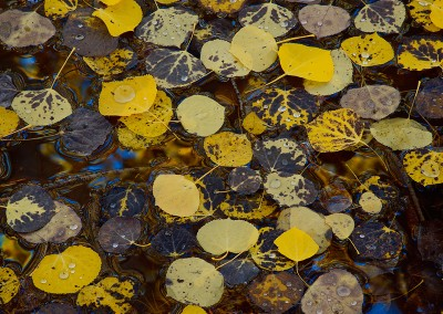 1468 Autumn leaves on water, Colorado
