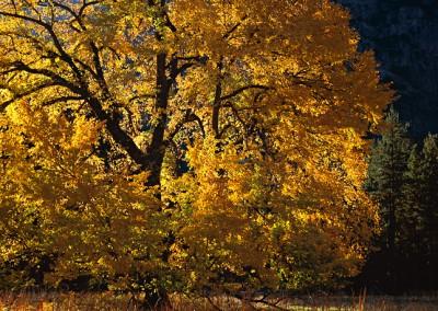 216 Golden Elm, Yosemite Valley