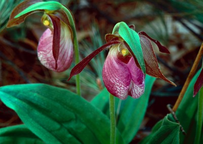 388 Lady's Slipper Orchids, Walden Woods