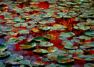 666 Autumn lily pads, Beech Forest, Cape Cod
