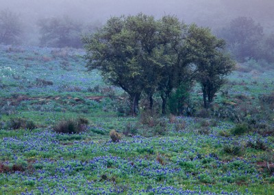 826 Bluebonnets and oaks in fog, Texas Hill Country, Mason County