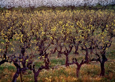 872 Grapevines and cherry trees, Provence, France