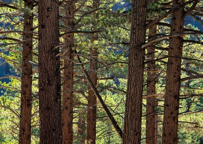 938 Backlit pines in forest, Eastern Sierra, California