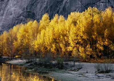 949 Cottonwood trees, El Capitan, Autumn, Yosemite Valley