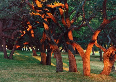 981 Light dance, oak trees, LBJ Ranch