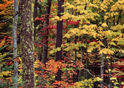 992 Fall foliage, Chesuncook Lake, Maine Woods