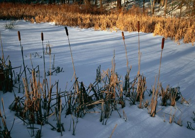 029 Cattails on frozen Fairyland Marsh, Walden Woods