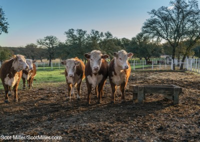 05984 Bulls at morning feeding, LBJ Ranch, Stonewall, Texas