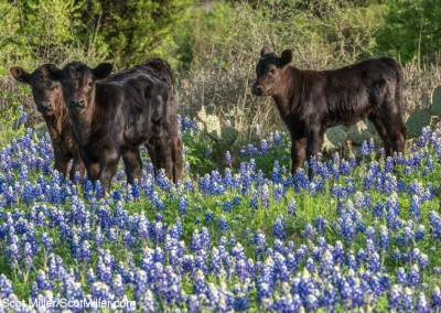 06640 3 black calves amidst bluebonnets, Texas Hill Country