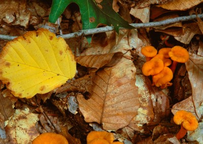 201 Small chanterelle mushrooms, Walden Woods