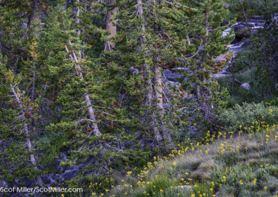 09344 Cascading stream and yellow wildflowers, John Muir Wilderness, Sierra Nevada Mountains, California