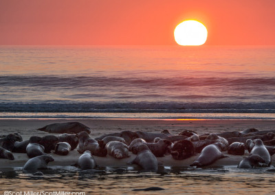 1100645 Seals on sandbar at sunrise, Cape Cod National Seashore, MA