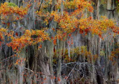 1414 Autumnal tints, colorful cypress trees, Caddo Lake, Texas