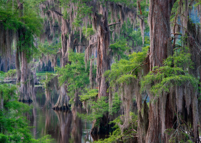 1454 Cypress trees and Spanish moss, Caddo Lake, Texas