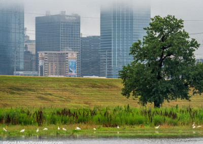 3350264 Egrets in ephemeral pool in shadow of downtown Dallas, Texas, in Trinity River Corridor