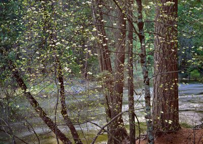 1442 Dogwoods, Tenaya Creek, Yosemite Valley