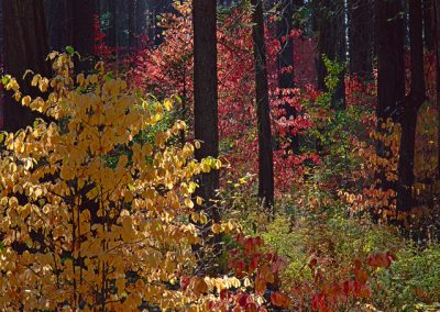 479 Dogwoods, Autumn color, Yosemite National Park