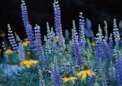 1120 Wildflowers at Crane Flat, Yosemite National Park