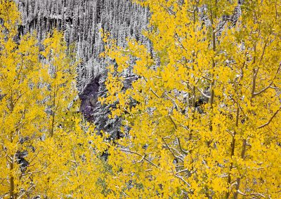 1464 Aspens, early autumn snow, San Juan National Forest, CO