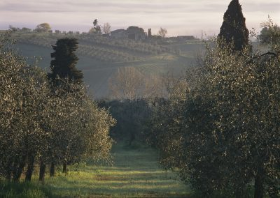 1470 Olive grove at sunrise, Montelpulciano, Italy