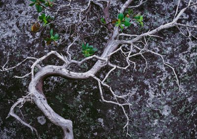 449 Gnarly manzanita bush in the Yosemite backcountry