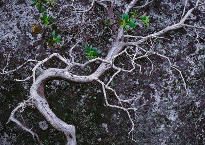 449 Gnarly manzanita bush in the Yosemite backcountry