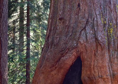 886 Sequoia Tree, Yosemite National Park