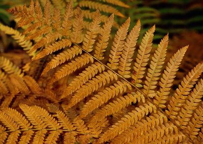 890 Golden ferns, Kathadin Lake, Baxter State Park, Maine
