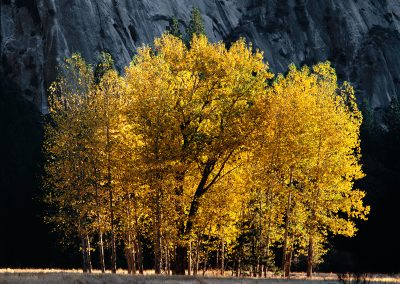 948 First light on cottonwood trees in Autumn, Yosemite Valley