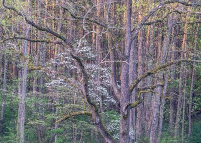 09314 Morning light, forest's edge, Spring, Cades Cove, Great Smoky Mountains National Park, TN