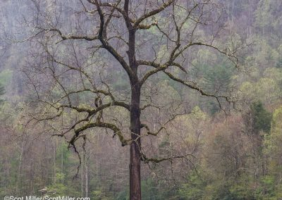1050055 Tree in a heavy Spring rainfall, Cataloochee Valley, Great Smoky Mountains National Park, NC