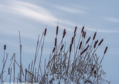 1030311 Cattails on the edge of a frozen pond, far northern New Hampshire, January 2019
