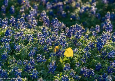 01362 Bluebonnets & yellow leaves, Trinity Forest Golf Club, Dallas, TX