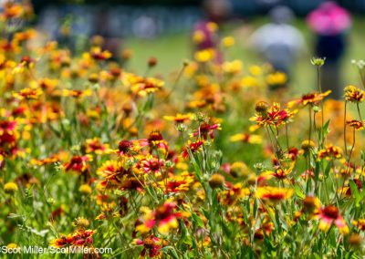 00239 Wildflowers, golf fans at 2019 Byron Nelson Tournament, Trinity Forest Golf Club, Dallas, TX