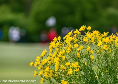 09805 Yellow wildflowers at 2019 AT&T Byron Nelson Tornament, Trinity Forest Golf Club, Dallas, TX