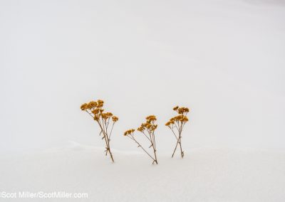 00440 Goldenrod in snow bank, Leadville, Colorado