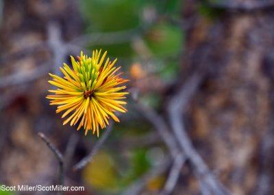 09324 Pine needles abstract, John Muir Wildermess, Sierra Nevada Mountains, California