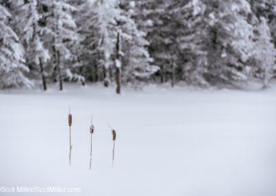 02499 Three frozen cattails, fresh snowfall, Cook County, Unorganized Territory of Grand Portage, Minnesota